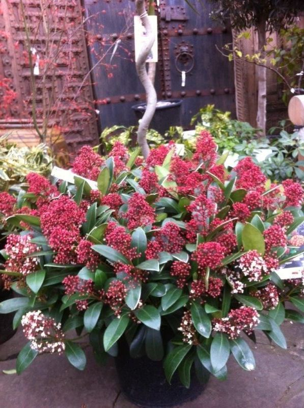 Skimmia, Hellebourous Niger, Camelia, Daphne Adora
